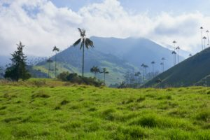 Ceroxylon quindiuense wax palms grow up to 60m in height, the tallest palm trees, protected species, national tree of Colombia, Valle de Cocora