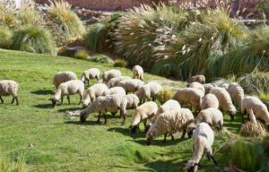 sheep grazing, Caspana village, pre-Incan oasis, 3260m, river passing through, adobe houses surrounding steep gorge, rich green terraces planted with root vegetables, Chile