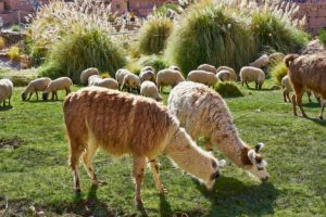 llamas, sheep grazing, Caspana village, pre-Incan oasis, 3260m, river passing through, adobe houses surrounding steep gorge, rich green terraces planted with root vegetables, Chile