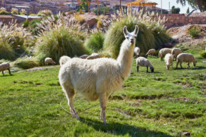 llama, sheep grazing, Caspana village, pre-Incan oasis, 3260m, river passing through, adobe houses surrounding steep gorge, rich green terraces planted with root vegetables, Chile