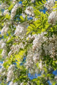 Uckermark, Prenzlau, Unterucker lake, Robinia, bloom