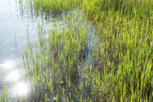 Uckermark, Prenzlau, Unterucker lake, reeds