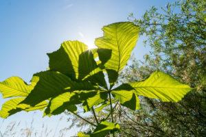 Uckermark, Prenzlau, Unterucker lake, chestnut leaf