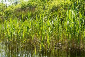 Biosphere reserve Schorfheide-Chorin, Oberucker lake, Ucker canal, Reed