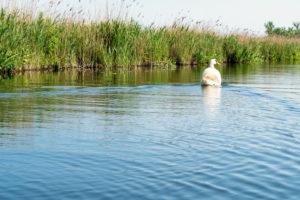Biosphere Reserve Schorfheide-Chorin, Oberucker lake, Ucker Canal, Swan