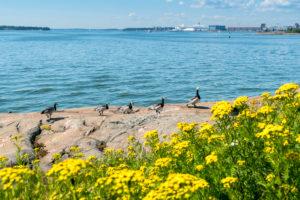 Helsinki, island Suomenlinna, archipelago, tansy and Canada geese