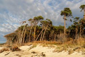 Fischland, Darß, Nationalpark Vorpommersche Boddenlandschaft, Weststrand, Windflüchter