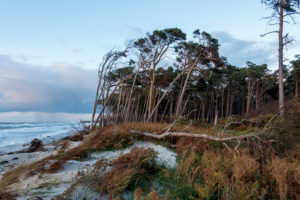 Fischland, Darß, Weststrand in the evening light, windswept tree