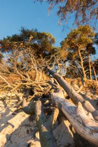Fischland, Darß, Weststrand im Abendlicht, entwurzelte Bäume