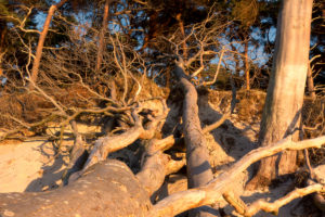 Fischland, Darß, west beach in the evening light, uprooted trees
