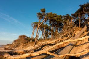 Fischland, Darß, Weststrand im Abendlicht, Windflüchter und entwurzelte Bäume