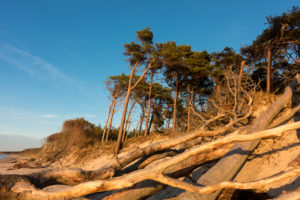 Fischland, Darß, Weststrand in the evening light, windswept tree and uprooted trees