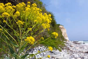 island of Rügen, Cape Arkona, cliff, beach, Bunias orientalis (turkish wartycabbage)