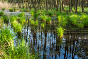 Baltic Sea, Western Pomerania Lagoon Area National Park, Darss forest, swamp forest, reflection