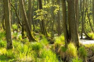 Baltic Sea, Western Pomerania Lagoon Area National Park, Darss forest, swamp forest, mossy tree trunks, evening light