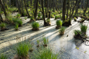 Baltic Sea, Western Pomerania Lagoon Area National Park, Darss forest, swamp forest