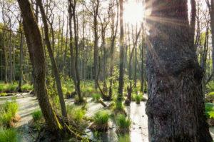 Baltic Sea, Western Pomerania Lagoon Area National Park, Darss forest, swamp forest, sun reflexes