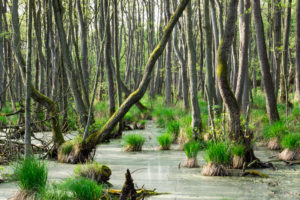 Ostsee, Nationalpark Vorpommersche Boddenlandschaft, Darsswald, Bruchwaldmoor