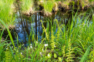 Baltic Sea, Western Pomerania Lagoon Area National Park, Darss forest, swamp forest, featherfoil (Hottonia palustris)