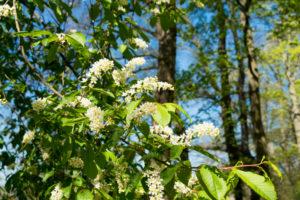 Berlin, Wannsee, Uferweg, Virginia cherry, Prunus padus