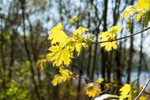Berlin, Wannsee, Havel-Uferweg in spring, maple leaf in the back light