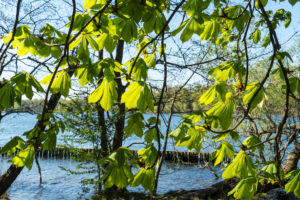 Berlin, Wannsee, riverside path, bank protection zone, chestnut leaves