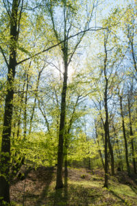 Berlin, Wannsee, Havel-Uferweg in spring, high bank in the back light, beech forest