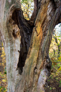 Berlin, Wannsee, Pfaueninsel in autumn, hollow tree trunk