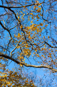 Berlin, Wannsee, autumn mood, beech with last leaves