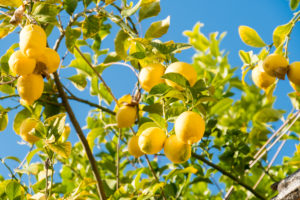 Spain, Granada, Albaicin, historic district, lemon trees