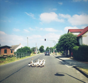 Brandenburg, ducks, duck family, geese, street