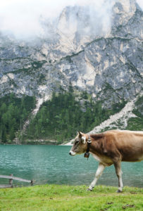 Cow, mountains, Dolomites, lake, nature, landscape, animal