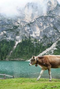 Kuh, Berge, Dolomiten, See, Natur, Landschaft, Tier