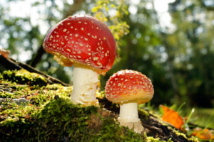 Toadstools on a glade in autumn mixed forest
