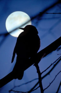 Full moon, branch, bird, silhouette,