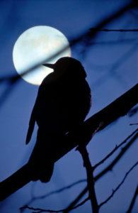 Full moon, branch, bird, silhouette,