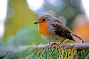 Redbreast sits in an Serbian spruce in the garden