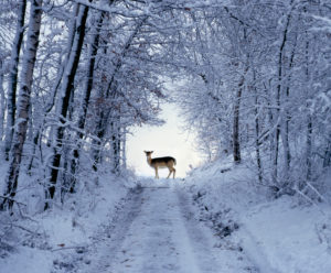 Female fallow deer in the winter coat on snow-covered forest way