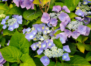 Blue blossoming hortensia, Hydrangea macrophylla, sort 'Blue Bonnet',