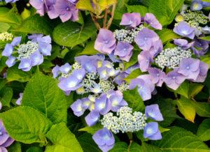 Blue blossoming hortensia, Hydrangea macrophylla, sort 'Blue Bonnet',