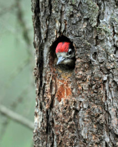 Young great woodpecker, Dendrocopos major, looking out of the breeding burrow