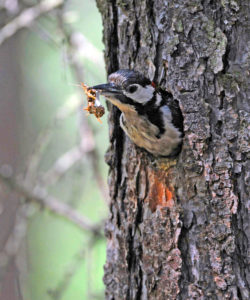 great woodpecker male, Dendrocopos major, leave the breeding burrow, brings out garbage and wood chips in the beak