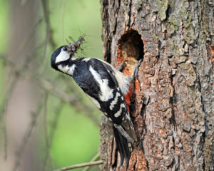 great woodpecker female, Dendrocopos major, with food for hungry nestlings on a breeding burrow in a trunk of a pine