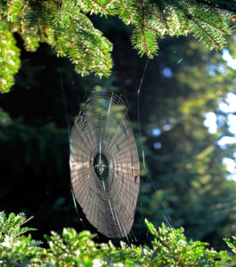 orb web of the cross spider for catching in the Indian summer