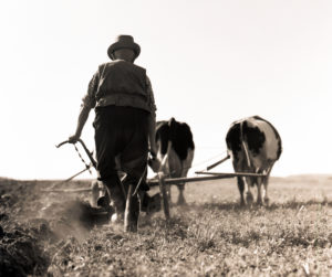 Farmer plows the field with cow or ox-drawn cart - a contemporary document of historical agriculture