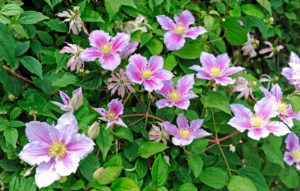 Flowering Clematis 'Piilu', also clematis, on a tree trunk as a climbing aid in the garden