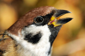 Portrait of tree sparrow, Passer montanus, sits in front of colorful autumn leaves of a climbing hydrangea in the garden, male and female are colored the same