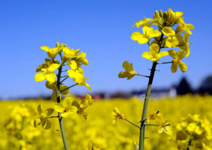 Rapeseed Brassica napus, one of the most important crop and energy crops, rape flower in close-up