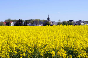 Rapeseed Brassica napus, one of the most important crop and energy crops, blooming rapeseed field, behind it the skyline of a Saechs village
