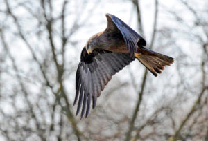 Red kite in search flight over its territory.
